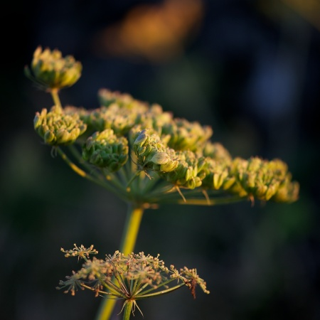Angelica at sunset