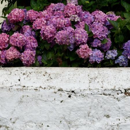 A Highland hydrangea